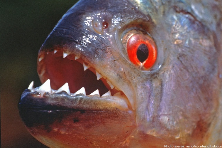 interesting facts about piranhas just fun facts