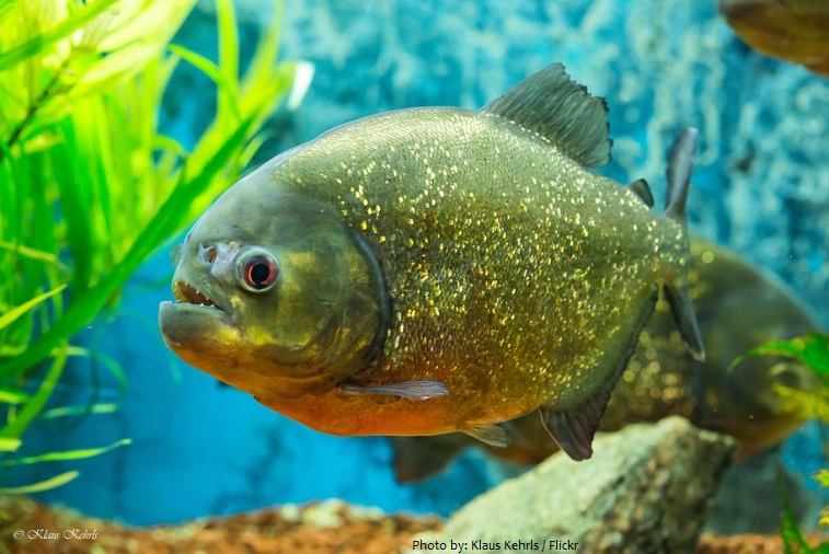 Interesting Facts About Piranhas Just Fun Facts HD Wallpapers Download free images and photos [musssic.tk]