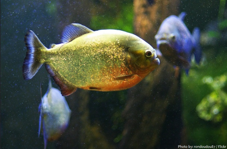 Interesting facts about piranhas just fun facts for Good facts about america