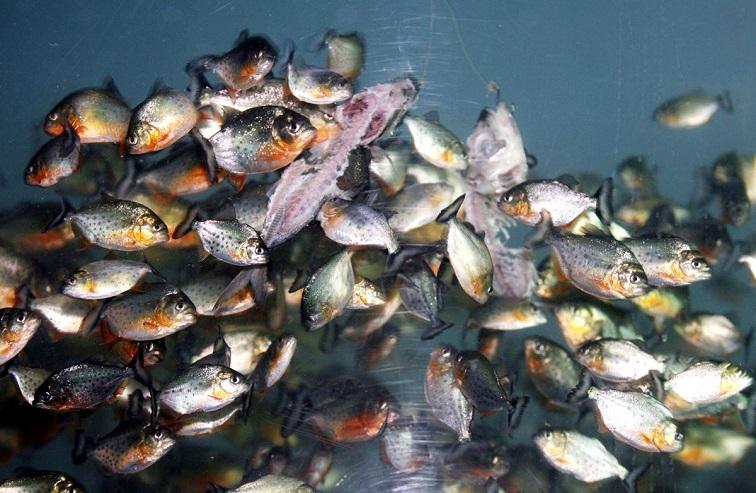 piranhas feeding
