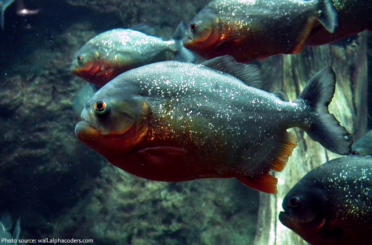 Interesting facts about piranhas just fun facts for Freshwater fish facts