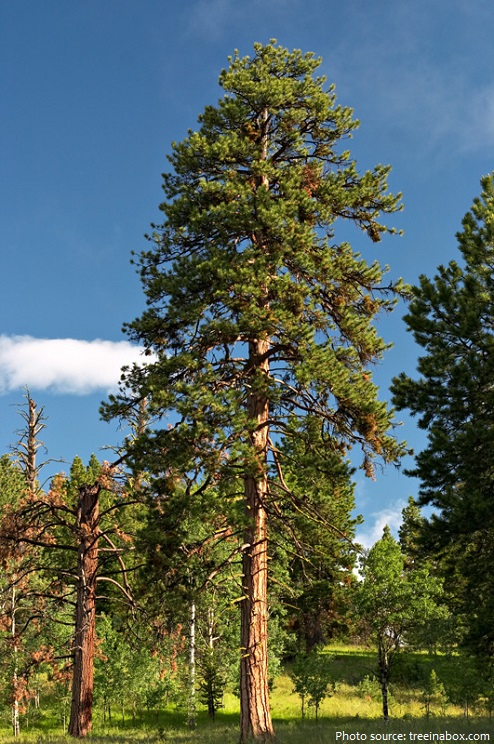 Interesting facts about pine trees | Just Fun Facts