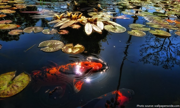 Interesting facts about koi fish just fun facts for Koi reproduction