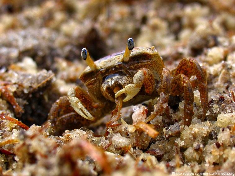 crab eating