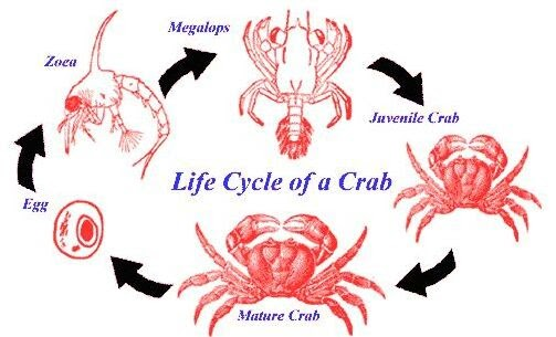 crab life cycle