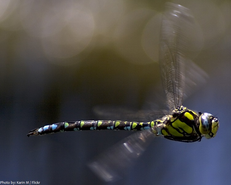 dragonfly flying