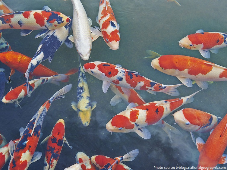 Interesting facts about koi fish just fun facts for Koi carp fish information