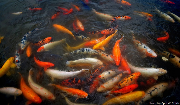 interesting facts about koi fish just fun facts On how much is a koi fish