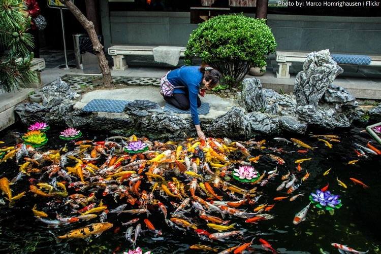Interesting facts about koi fish just fun facts for Koi feeding