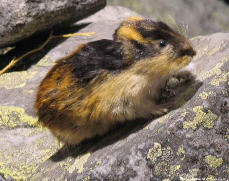 interesting facts about lemmings just fun facts