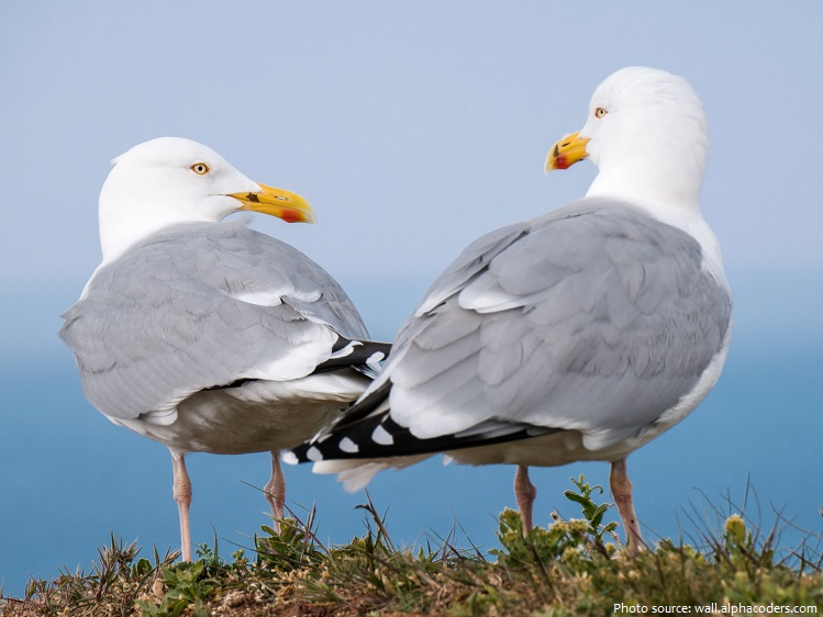 seagull couple