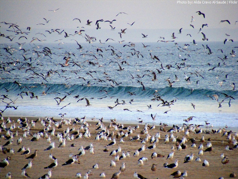 seagulls colony