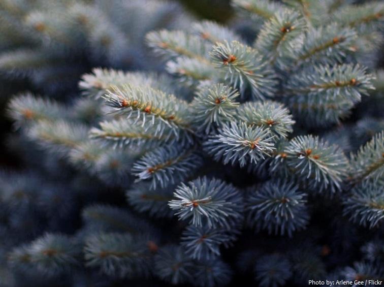 spruce needles