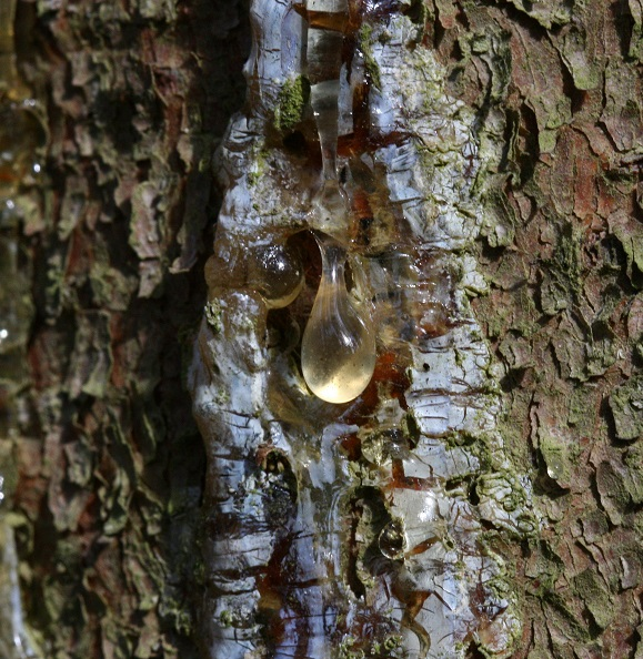 spruce resin