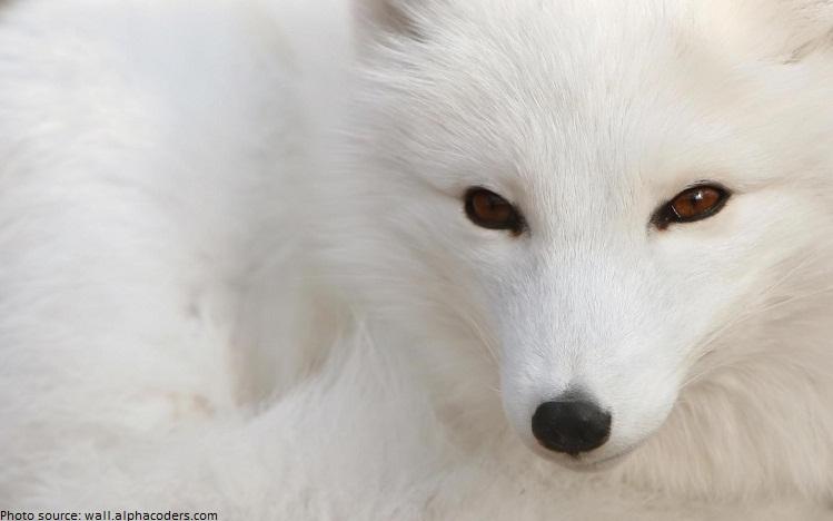 arctic-fox-2