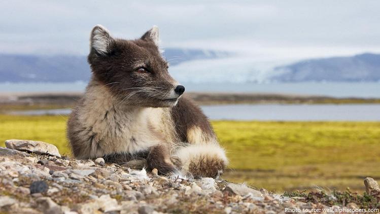 arctic-fox-3