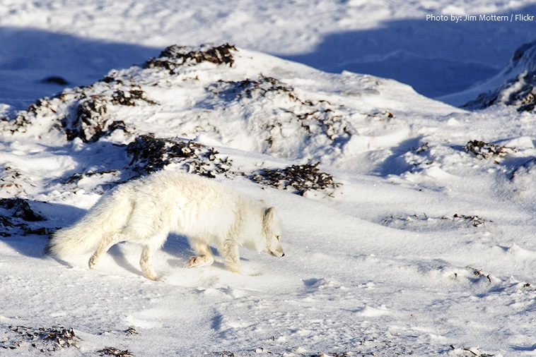 arctic-fox-5