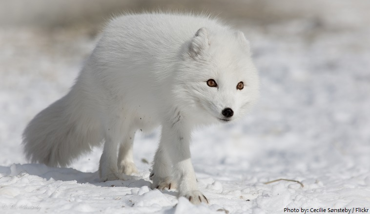 arctic-fox-6
