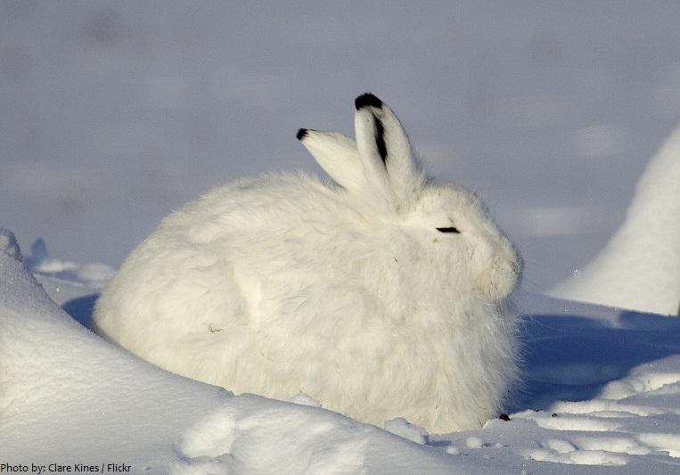 arctic-hare-2