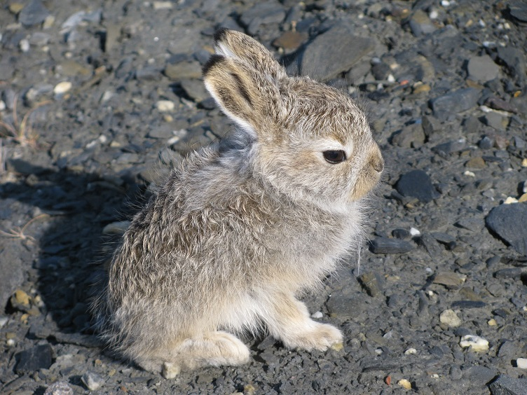 arctic hare baby