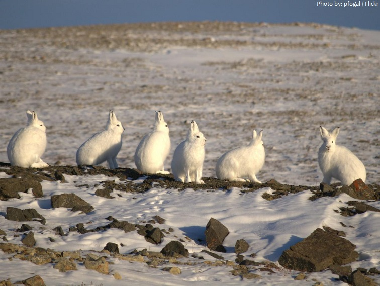 arctic hare group