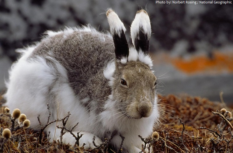 arctic hare moult