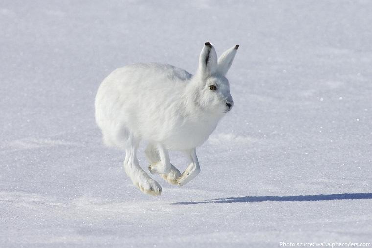 arctic hare running