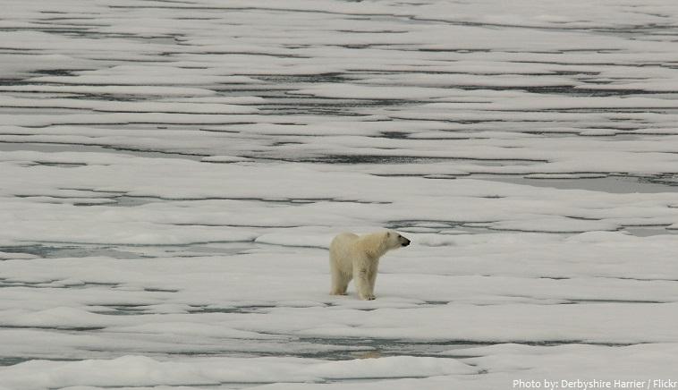 arctic ocean polar bear
