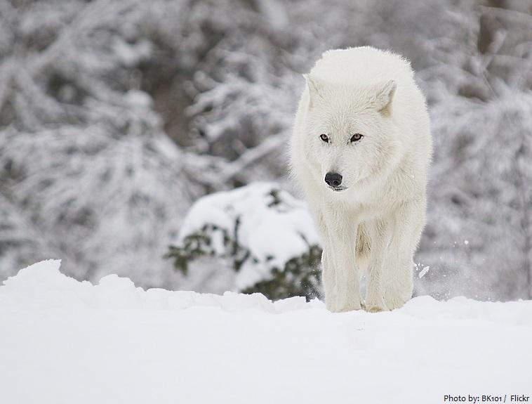 arctic-wolf-2