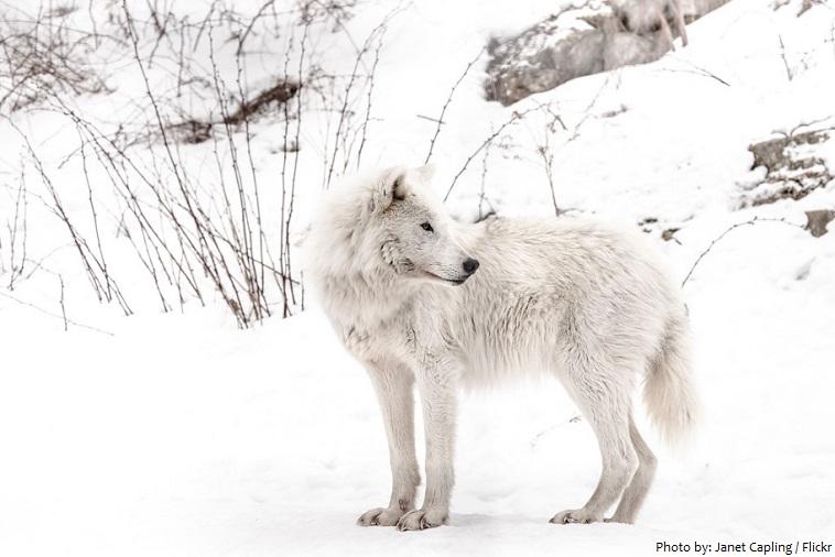 arctic-wolf-3