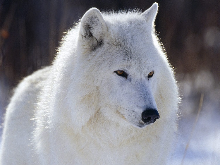 The arctic wolf pictures — photo 1