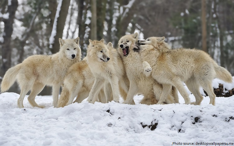 arctic wolves pack
