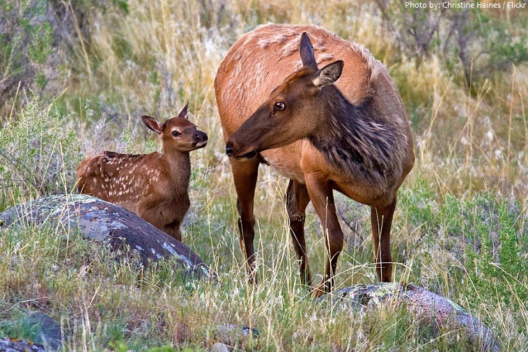 elk mother and calf