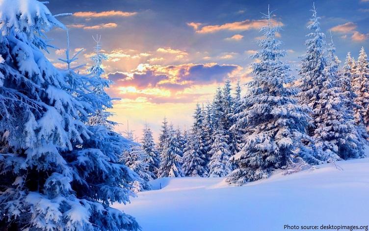 fir-trees-2
