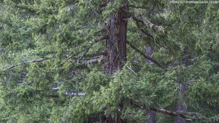 fir-trees-3