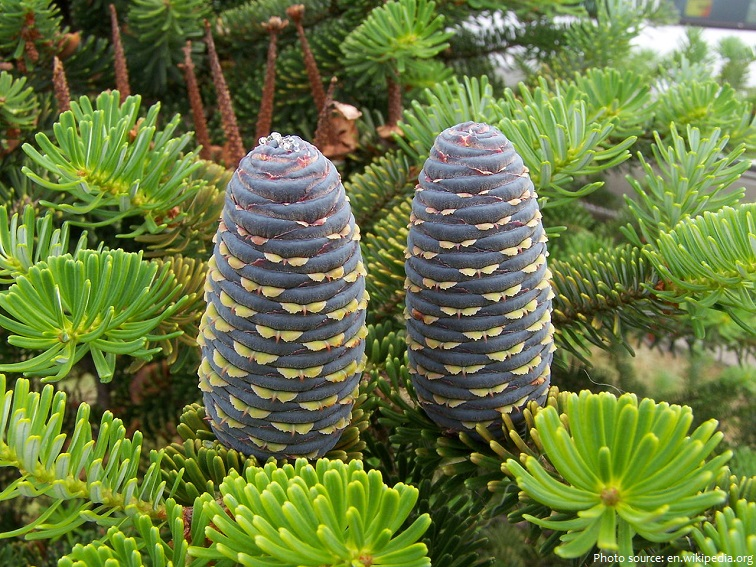 fir trees cones