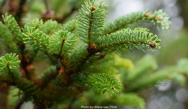 fir trees needles