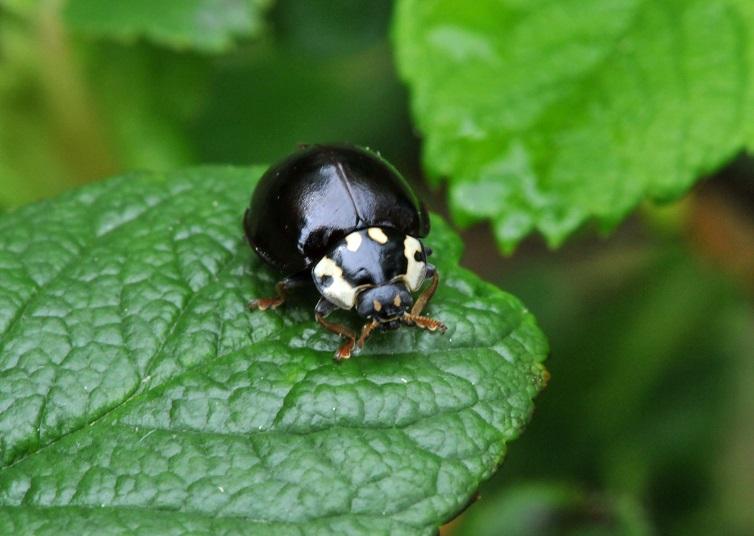 ladybug black