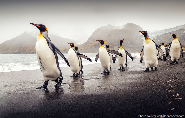 penguins walking