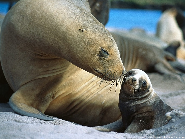 seals mother and pup