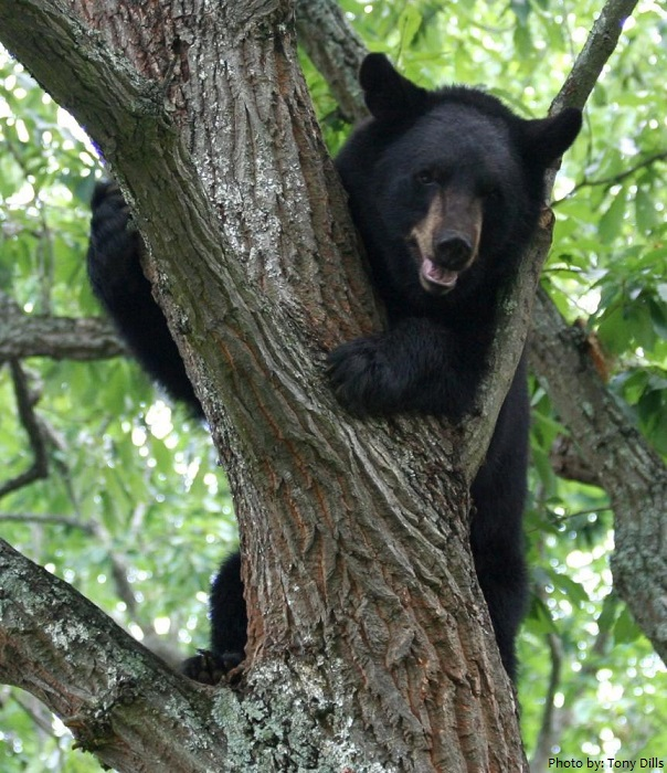 america -black bear climbing tree