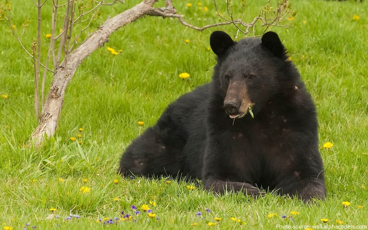 american black bear eating
