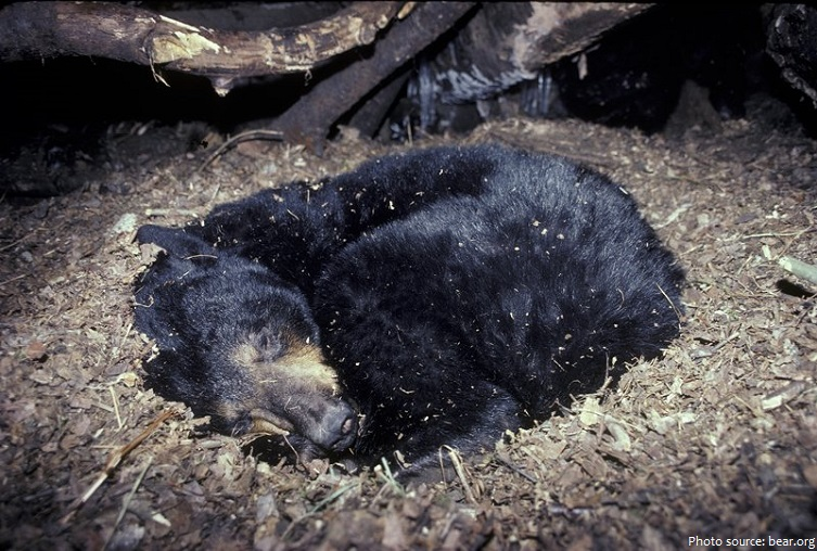 american black bear hibernation