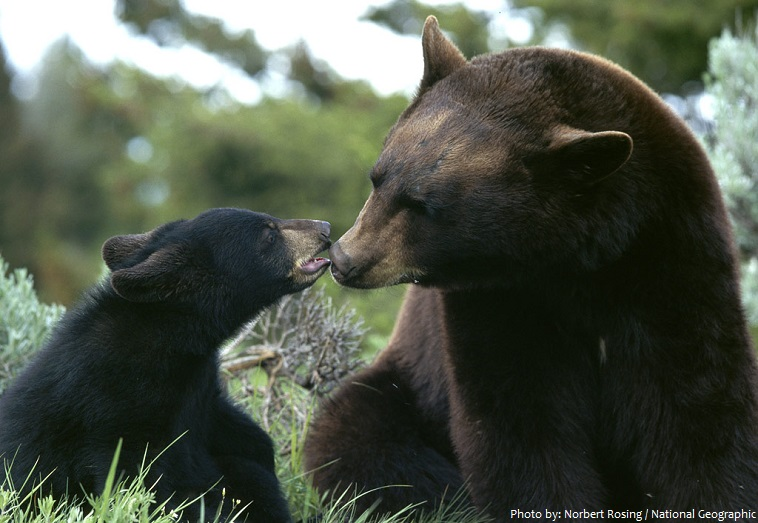 american black bear mother and cub