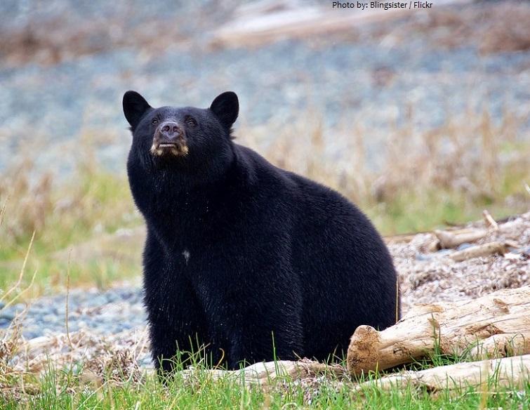 american black bear smell
