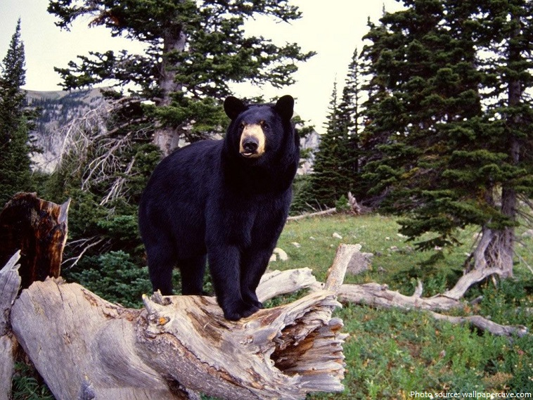 fun facts about the north american black bear I'm coming with the most amazing black bear facts for kids including black bear diet, habitat, reproduction, and behavior the american black bear (urus americanus) is a subspecies of black bear that is endemic to north america these animals are the smallest and the most widespread bears across the continent.