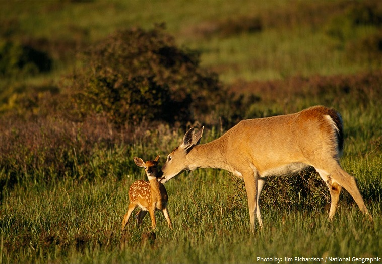 baby white tailed deer and mother