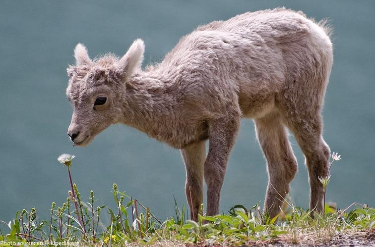 bighorn lamb