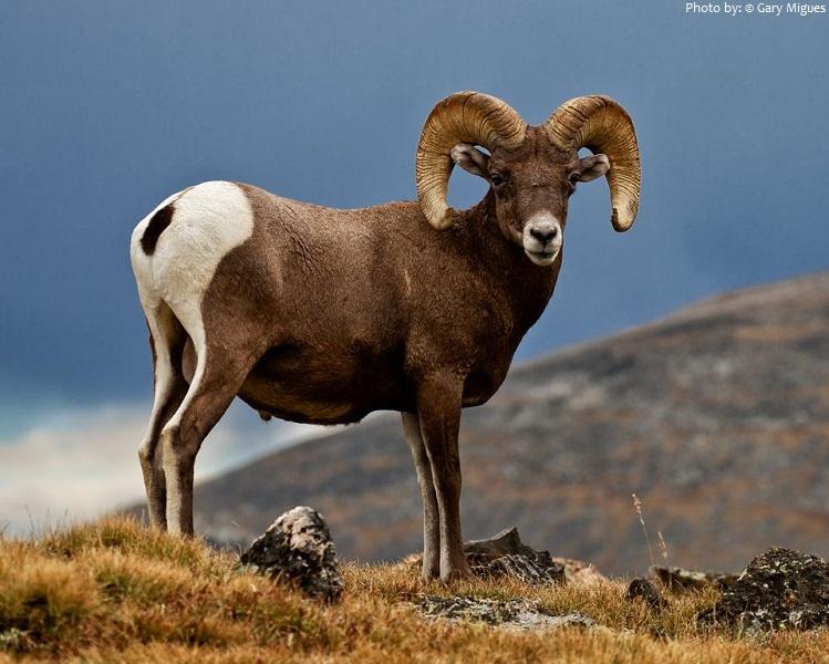 bighorn-sheep-2
