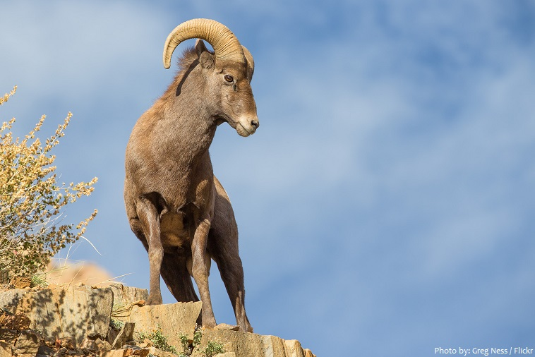 bighorn sheep on cliff